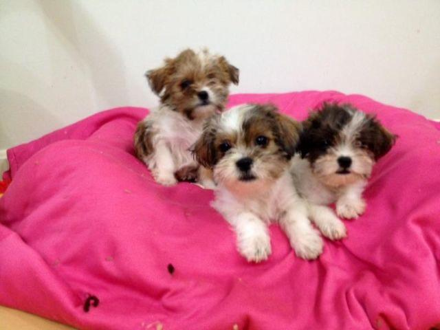 Adorable Shorkie Shih Tzu Yorkie Puppies For Sale In Amissville