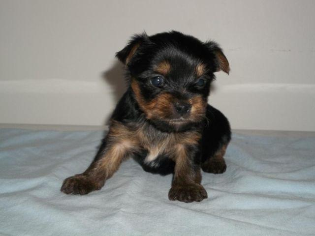 Cute CKC Teacup Yorkie Puppies for Sale in Greenville