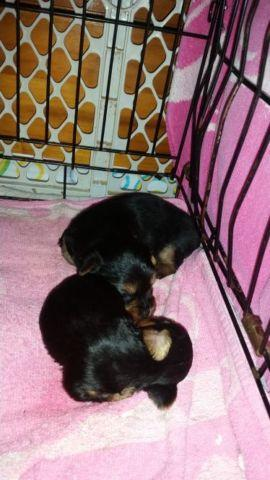 Female and male yorkie puppies
