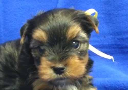 adopt female yorkie louisville ky to download adopt female yorkie