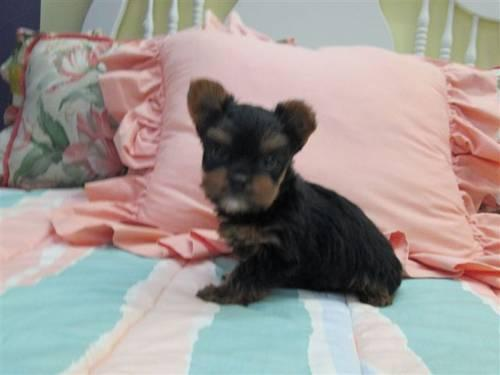 Must have Yorkie Puppy--Male