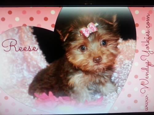 Chocolate female Yorkie puppy