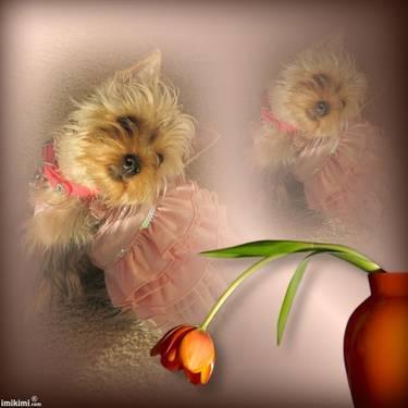 adorable reg. yorkie pups