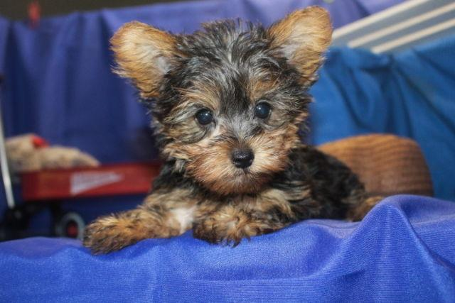 HAS DEPOSIT! Peanut Male CK Yorkie Ready July 20th