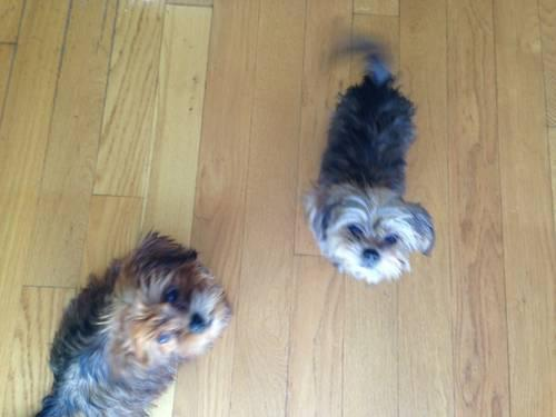 yorkie and shih tzu mix price shorkie puppies yorkie shih tzu mix for sale in 6115