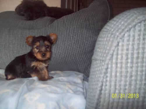 AKC registered yorkie/yorkshire