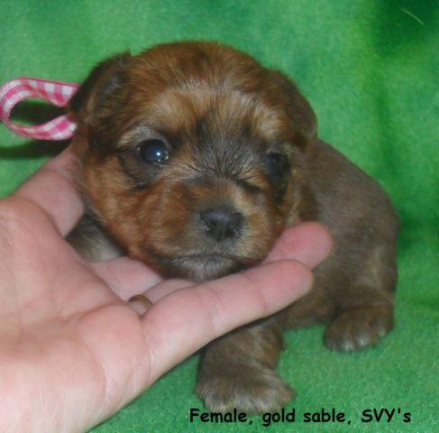 AKC gold sable Yorkie/Yorkshire Terrier