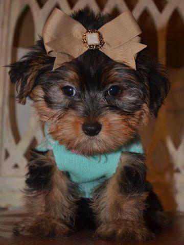 Maxwell Tiny YorkiePoo Puppy