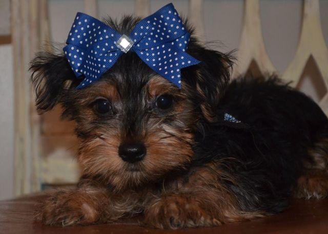 Tiny Mavrick YorkiePoo Puppy