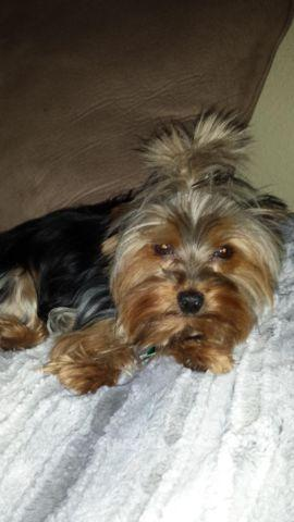 AKC tiny doll face yorkies due May 11th
