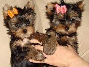 Teacup Shorkie yorkshire Puppies