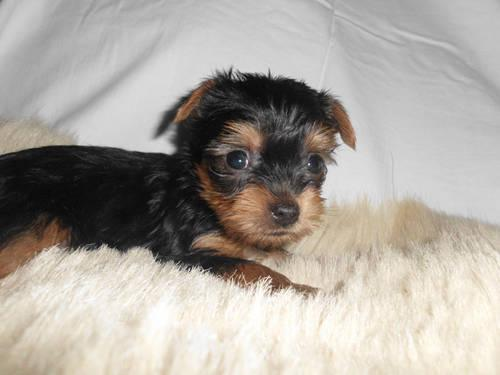 CKC FEMALE YORKSHIRE TERRIER