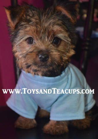 Teacup CKC Yorkshire Terrier