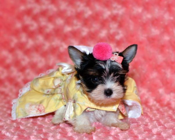 Tiny CKC parti colored Yorkshire Terrier female