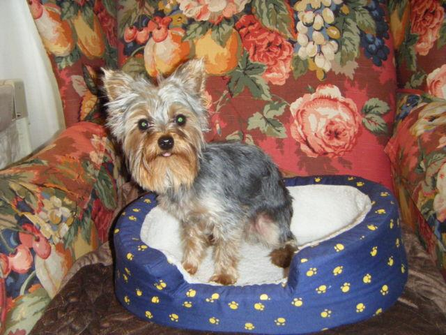 AKC Small Male Yorkshire Terrier (Yorkie)