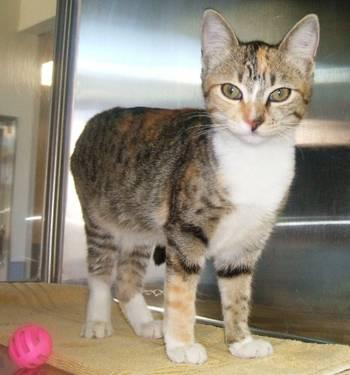 Calico - Candy - Small - Young - Female - Cat