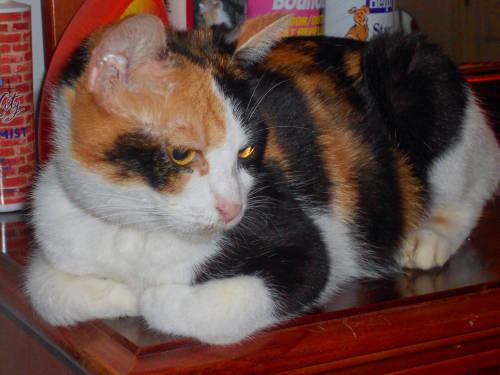 Calico - Calypto - Medium - Young - Female - Cat