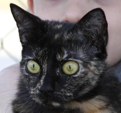 Tortoiseshell - Pumpkin - Medium - Young - Female - Cat