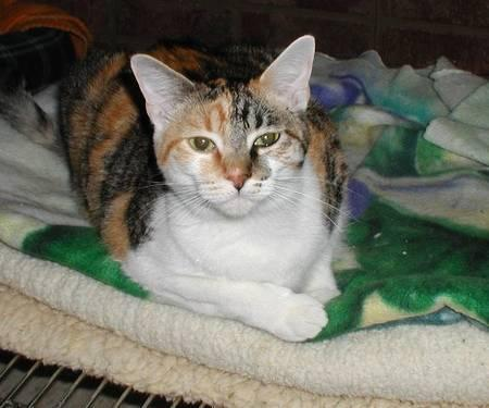 Calico - Liza - Medium - Young - Female - Cat
