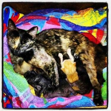 Tortoiseshell - Rosaline - Medium - Young - Female - Cat