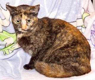Tortoiseshell - Pagliacci - Medium - Young - Female - Cat