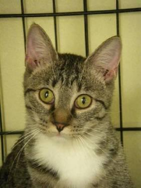 Tiger - Marla - Medium - Young - Female - Cat