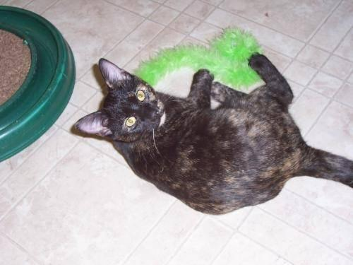 Tortoiseshell - Chelsey - Medium - Young - Female - Cat