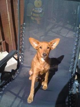 Setter - Delany - Medium - Young - Female - Dog