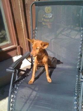 Retriever - Dina - Medium - Young - Female - Dog