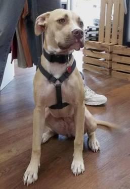 Shepherd - Dolly - Medium - Young - Female - Dog