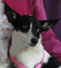 Terrier - Rachel - Small - Young - Female - Dog