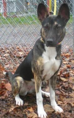 Basenji - Chatter-trained - Medium - Young - Female - Dog
