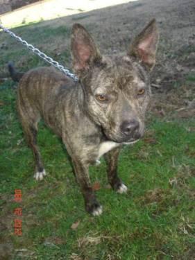 Boxer - Blitzen - Medium - Young - Female - Dog