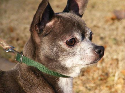 Chihuahua - Angel - Small - Young - Female - Dog