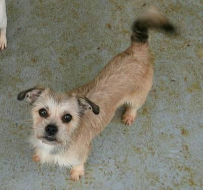 Terrier - Tiffy - Medium - Young - Female - Dog