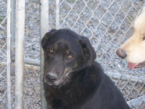 Shepherd - Abby - Medium - Young - Female - Dog
