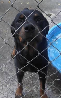 Rottweiler - Olympia - Medium - Young - Female - Dog