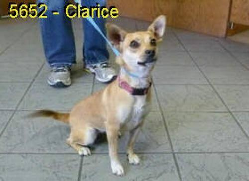 Chihuahua - Clarice - Small - Young - Female - Dog