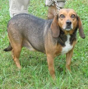 Beagle - Shirley - Medium - Young - Female - Dog