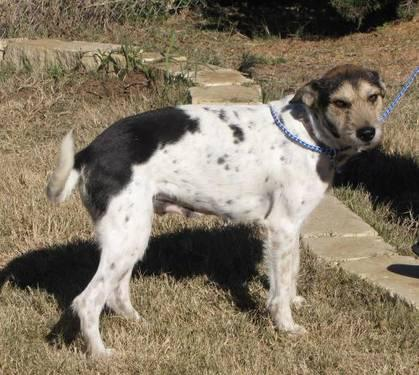 Terrier - Lulu - Medium - Young - Female - Dog