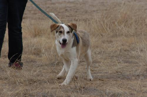 Beagle - Sugar - Large - Young - Female - Dog