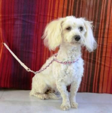 Poodle - Lys - Small - Young - Female - Dog