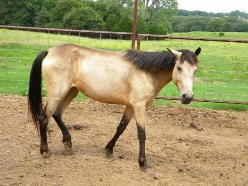 Quarterhorse - Rosie - Large - Young - Female - Horse