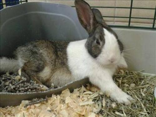 Dutch - Hibiscus - Medium - Young - Female - Rabbit