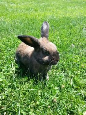 American - Oreo - Small - Young - Female - Rabbit
