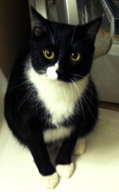 Tuxedo - Quincey - Large - Young - Male - Cat