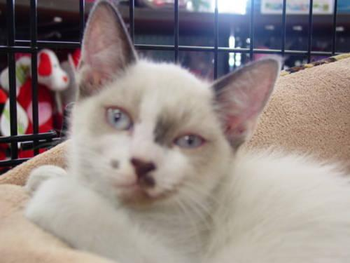 Siamese - Bailey - Medium - Young - Male - Cat