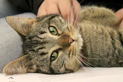 Tiger - Daniel - Medium - Young - Male - Cat