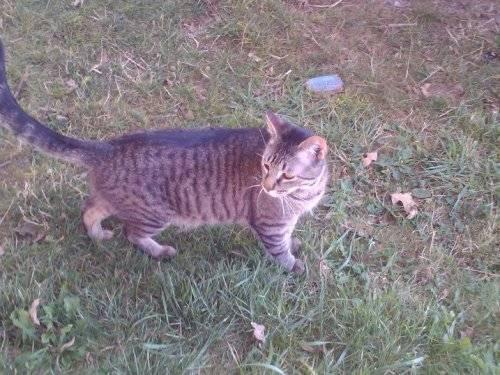 Tiger - Brandon - Medium - Young - Male - Cat