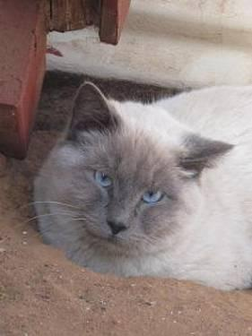 Siamese - Toby - Medium - Young - Male - Cat